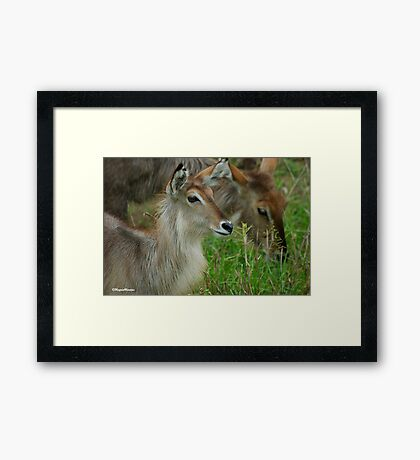 UP CLOSE - THE WATERBUCK - Kobus ellipsiprymnus Framed Print