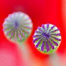 Study of Poppy Seed Pod #6 by Mukesh Srivastava