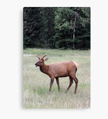 Young Male Elk Canvas Print