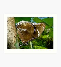 Common  Female Eggfly Butterfly Art Print