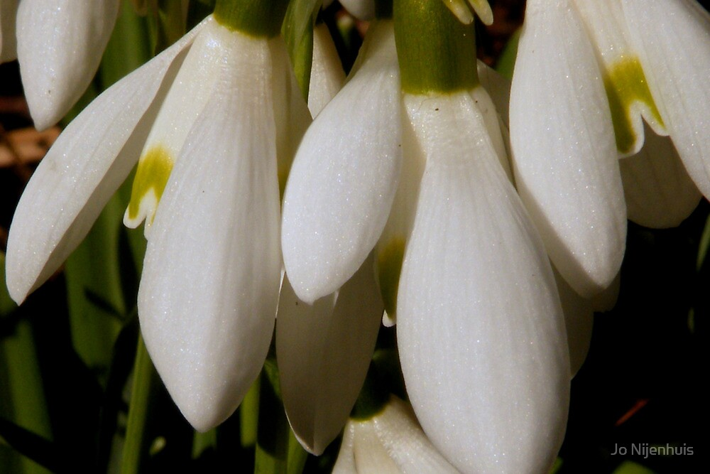 Snowdrops - First Sign of Spring by Jo Nijenhuis