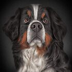 Drawing Bernese Mountain Dog. by bonidog