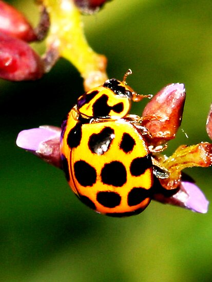 Pretty Ladybug by Coloursofnature