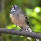 Sing Fantail Sing by lizdomett