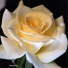 'Elfenbeinschönheit' eine wunderschöne Rose von Magriet Meintjes