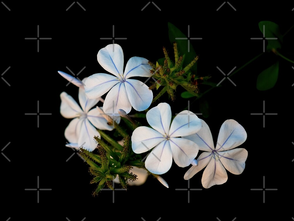 Plumbago by Elaine Teague