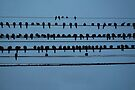 birds on a wire feeling blue by vfphoto