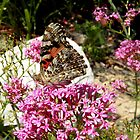 Painted Lady Butterfly by coribeth