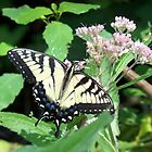 Canadian Tiger Swallowtail Butterfly by coribeth