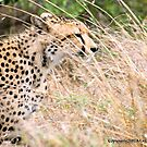 THE CHEETAH - Acin0nyx jabatus, in hiding... by Magriet Meintjes