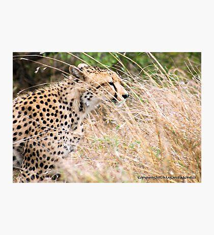 THE CHEETAH - Acin0nyx jabatus, in hiding... Photographic Print