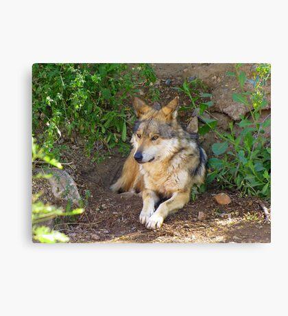Mexican Grey Wolf ~ II  Canvas Print