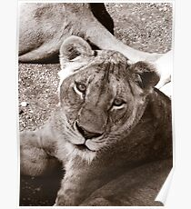 Lioness (sepia) Poster