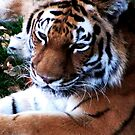 Tiger Lounging by shutterbug2010
