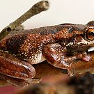 Bleating Tree Frog -  Litoria dentata. by Normf