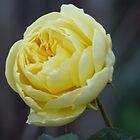Winter Rose by Woodie