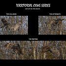 Territorial Owls series by DigitallyStill