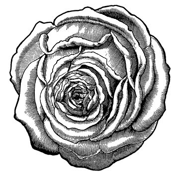Black Botanical Rose by 26-Characters