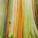 Rainbow Eucalyptus by Tracy Riddell