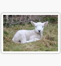 Lamb at rest Sticker