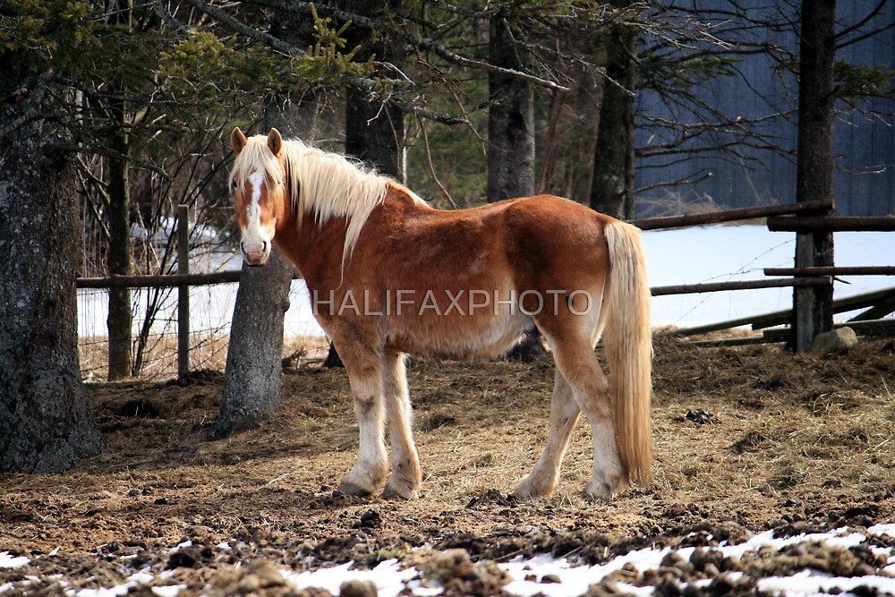 Winter Horse by HALIFAXPHOTO
