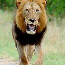 RIGHT DIRECTION - THE LION - Panthera leo - LEEU von Magriet Meintjes