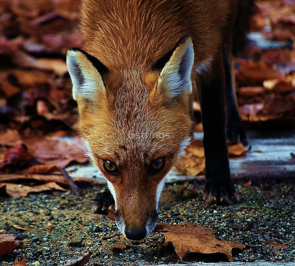 Cunning- Out foxing the fox. by 6strings