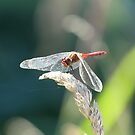 Red dragonfly by tos42