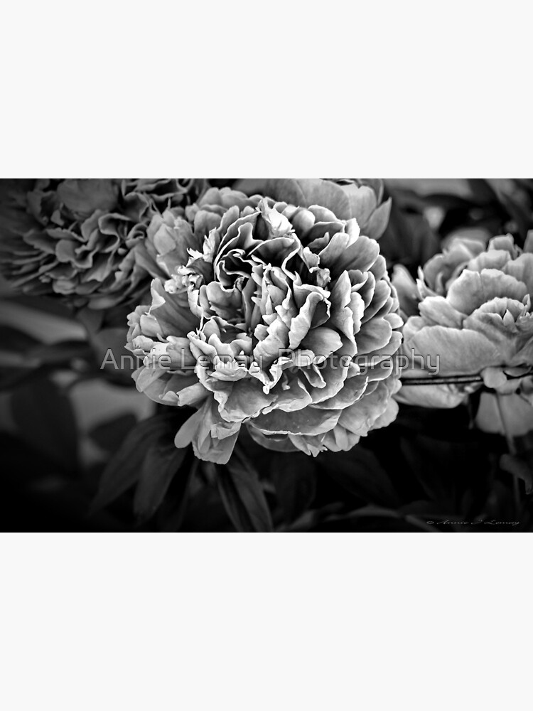 Peonies in Black by ajlphotography