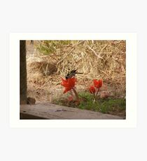 Haemanthus coccineus,blood lily and honey eater. Art Print