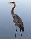 Great Blue Heron by Declan Lopez