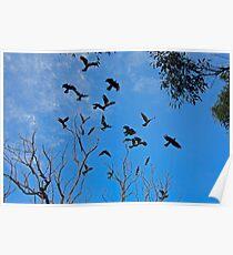 Black Cockatoo,s in Flight over Brisbane Waters National Park Poster