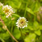 White Clover flower-head by Roberto Irace