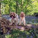 Two Spinone in a bluebell wood by heidiannemorris