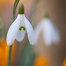Graceful Galanthus by Sarah-fiona Helme
