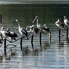 Sunday Morning with the Pelicans by sunrisecoast