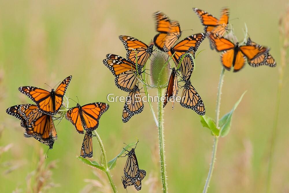 Monarch Butterflies fluttering by Greg Schneider