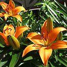 Orange Lilien bei Sonnenuntergang von BlueMoonRose