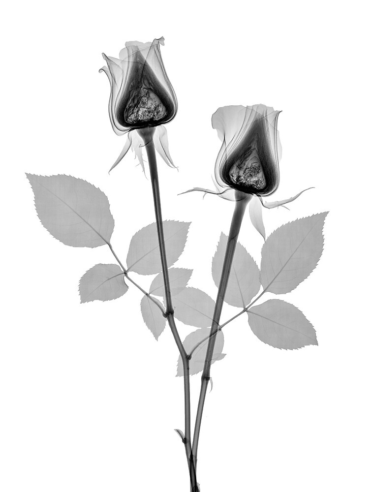 ROSES by Paul CESSFORD