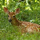 Fawn by Kent Nickell
