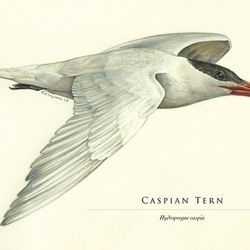 Caspian Tern in flight by RedCloudDesign
