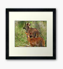 Nyala Antelope Framed Print