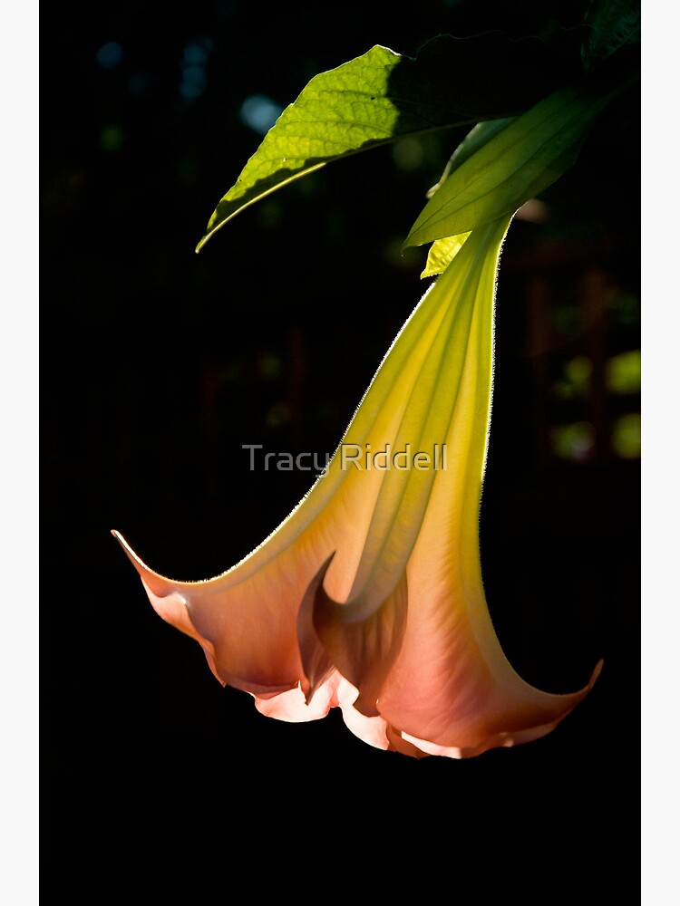 Brugmansia Flower by taos