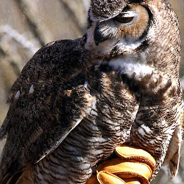 Great Horned Owl by Stormygirl