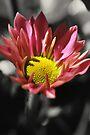 Chrysanthemum Morifolium by Yhun Suarez