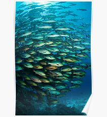 Schooling Snapper Poster