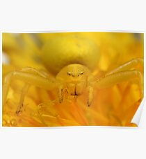 Yellow crab spider Poster