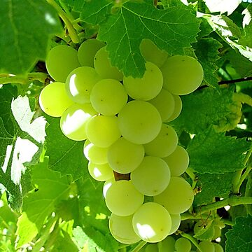 Grapes by beleja