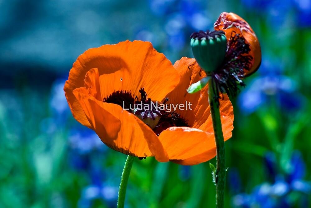 Orange poppy by LudaNayvelt