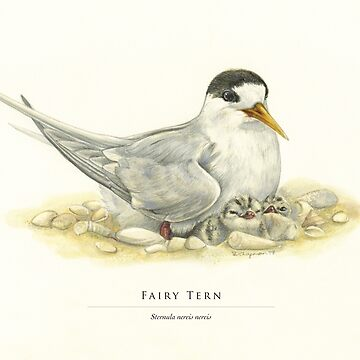 Fairy Tern with two chicks by RedCloudDesign